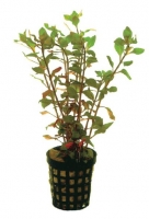 LUDWIGIA PALUSTRUS RED