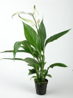 SPATIPHYLLUM GREEN